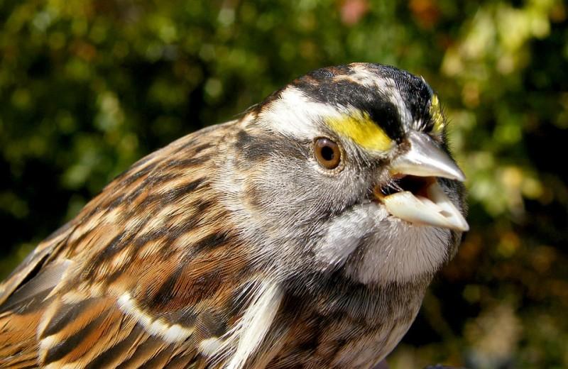 В США сокращается популяция певчих птиц. В этом обвиняют инсектициды