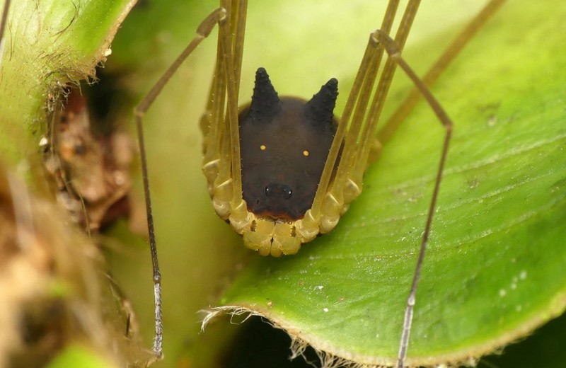 Длинноногий папочка: очень странное паукообразное