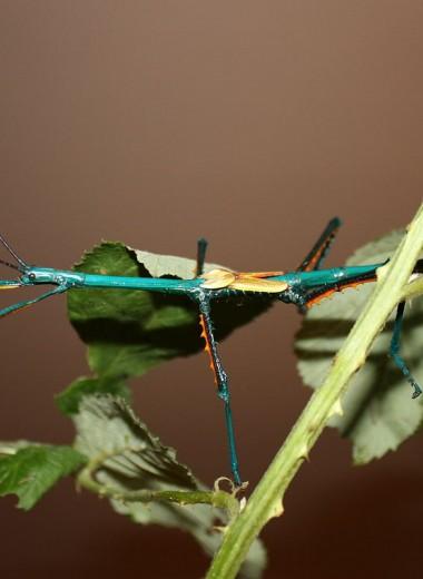 Палочники: насекомые с удивительной стратегией продолжения рода