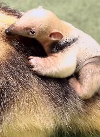 Как выглядит новорожденный малыш тамандуа