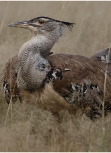Птица-секретарь досаждает африканской дрофе: видео