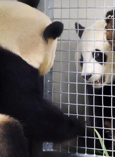 Первое свидание панд в голландском зоопарке: фото