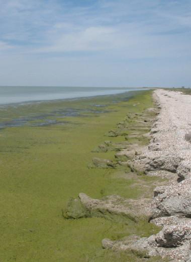 Залив Сиваш стал более соленым и наполнился микроводорослями