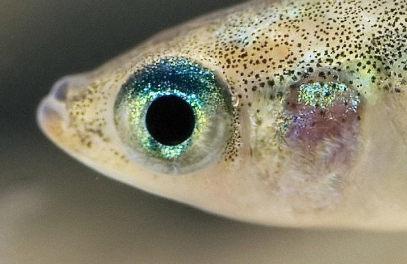 Микропластик заставил рыб больше рожать