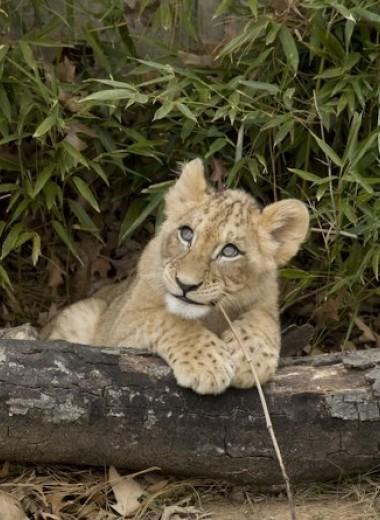 Пещерные львы навсегда расстались со своими собратьями полмиллиона лет назад