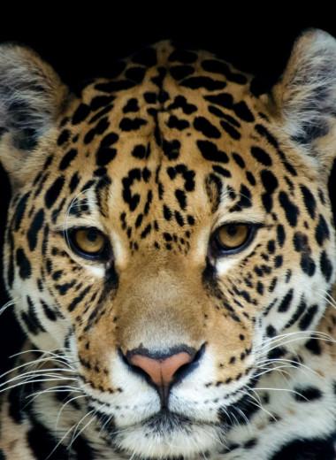 В ХХ веке в США истребили всех ягуаров. Теперь их хотят вернуть