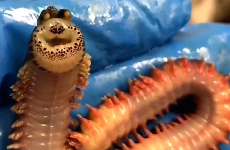 Необыкновенный морской червь попал в сеть – и на видео