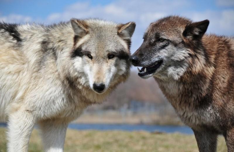 Волки умеют анализировать действия людей и собак