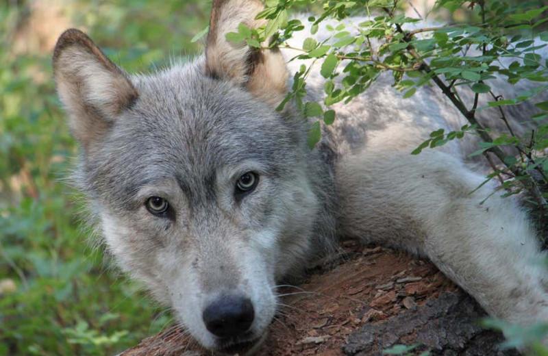 Волки впервые за 70 лет вернулись в Колорадо