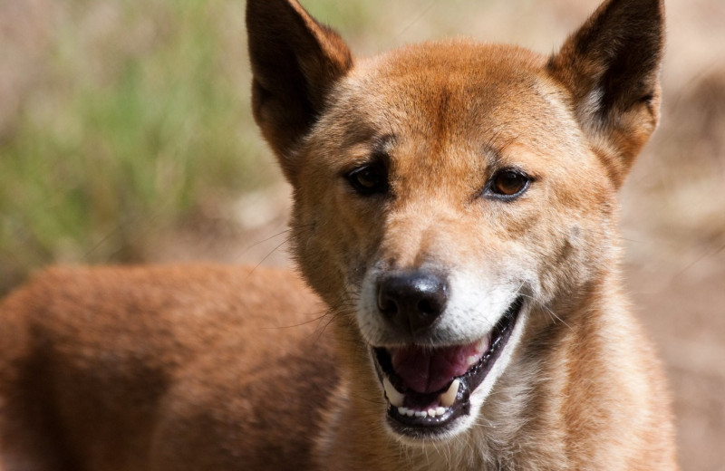 Считавшихся вымершими в дикой природе новогвинейских поющих собак обнаружили в Индонезии