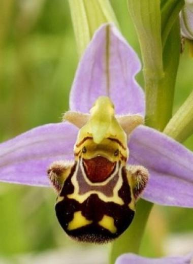 Растения-обманщики: как исхитряется охотящаяся до опылителей флора