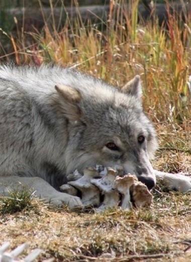 Возвращение волков в Йеллоустон помогло ивам стать выше