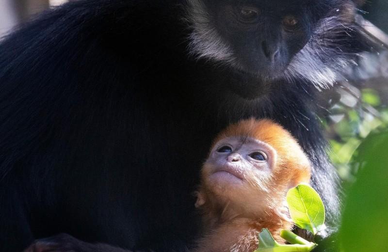 В американском зоопарке родился редкий тонкинский гульман