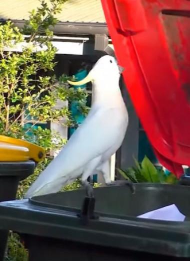 Какаду учат друг друга воровать мусор: видео