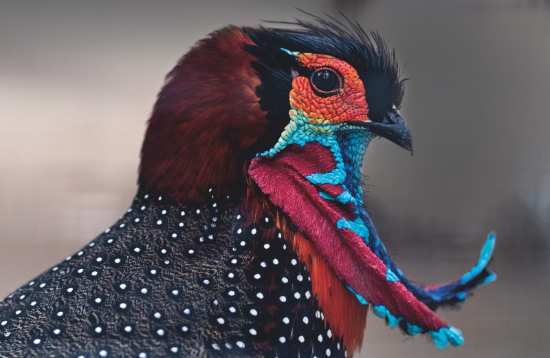 Брачные игры короля птиц: щегольство и прятки