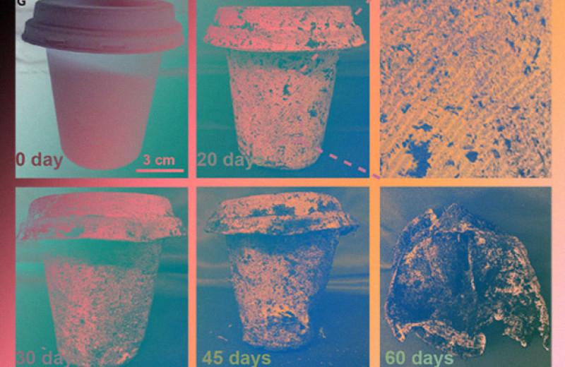 Бамбуково-тростниковый стаканчик разложился наполовину за два месяца в земле