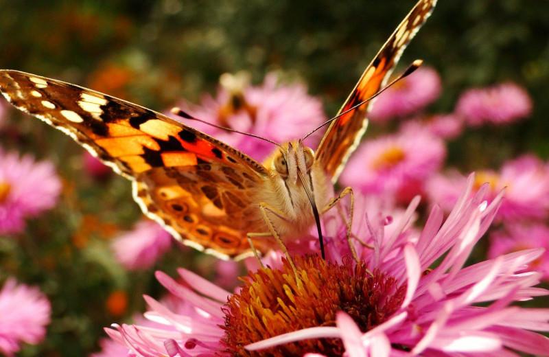 Найдена бабочка – рекордсмен миграции
