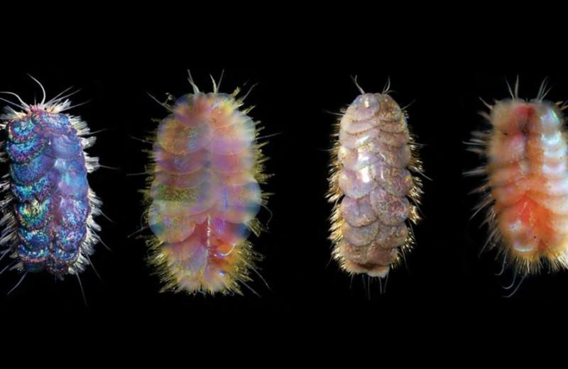 Worms Armageddon: на дне Калифорнийского залива нашли дерущихся червей