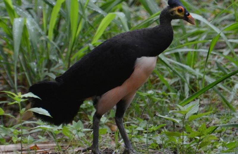 Отказ от сбора яиц помог увеличить численность редких сорных кур с Сулавеси