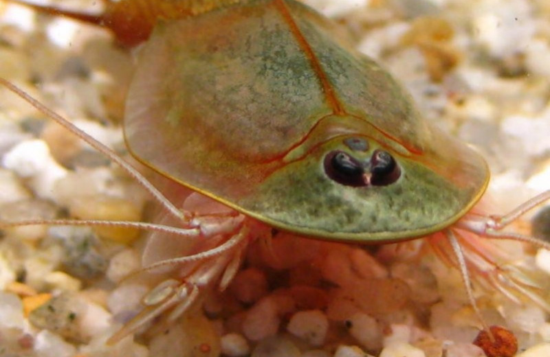 Triops cancriformis – древнейшие из ныне живущих существ. Это рекорд Гиннесса