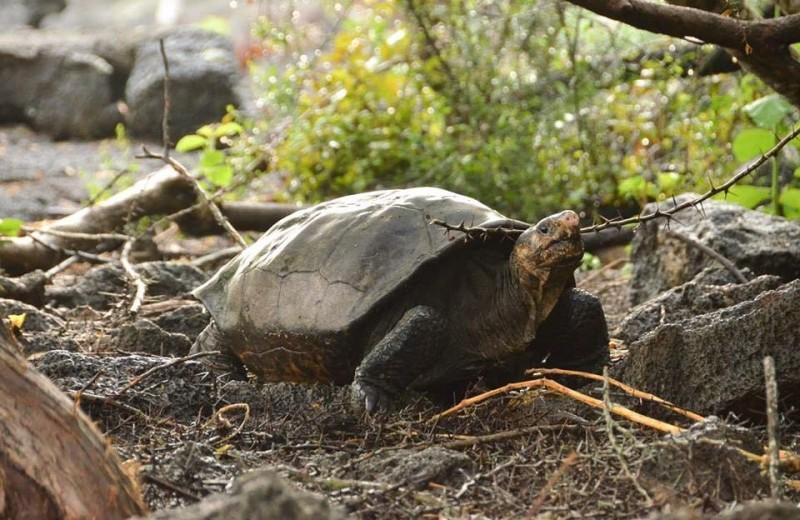 На Галапагосах найдена черепаха, считавшаяся вымершей
