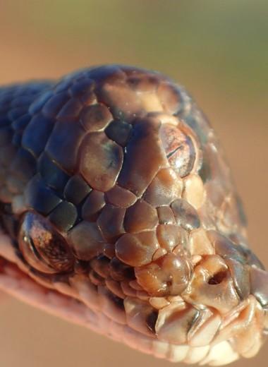Трехглазая змея: уникальная находка в Австралии