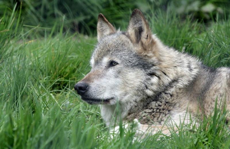 Дикие волчата родились в Колорадо впервые за 80 лет