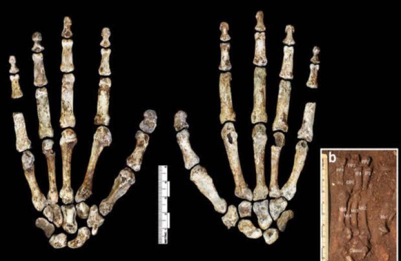 Пястные кости Homo naledi заняли промежуточное место между людьми и австралопитеками