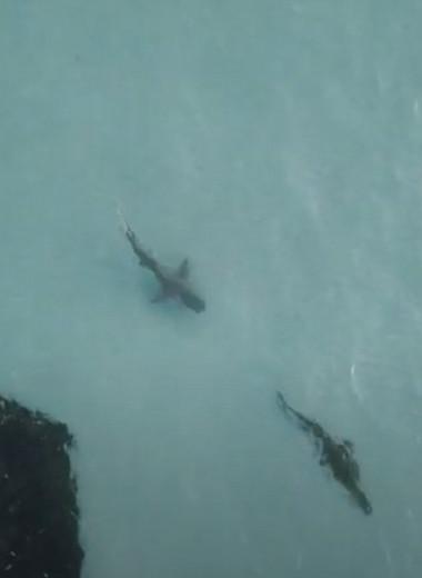 Акула пустилась в погоню за крокодилом: видео