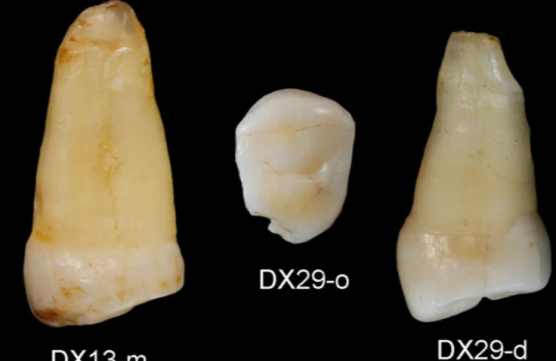 Китайские антропологи выдали зуб оленя за человеческие останки