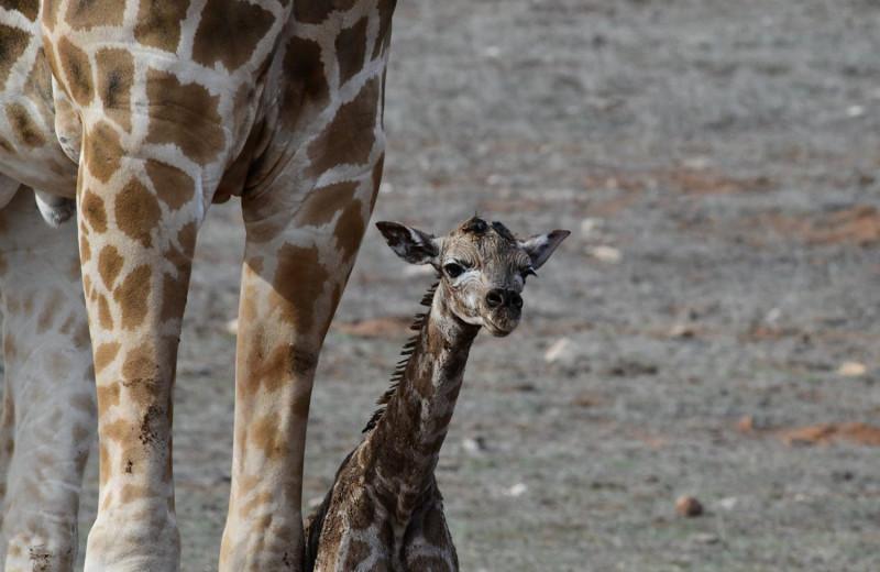 Детеныш жирафа впервые увидел свою тень: видео