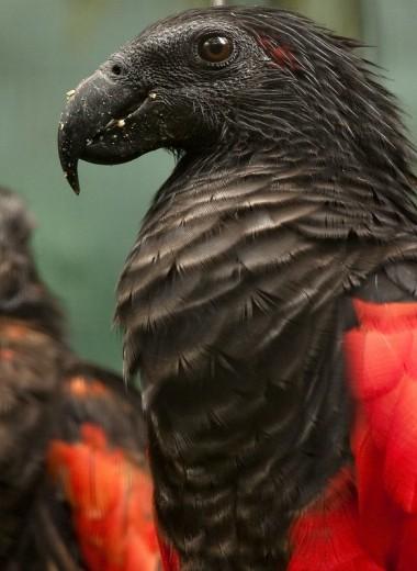 Попугай-Дракула: кто он?
