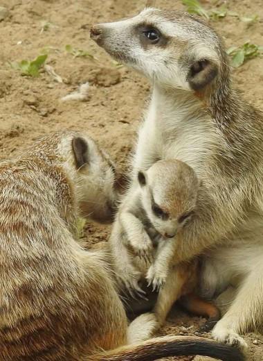 Мал, да удал: пополнение в семье сурикатов в Московском зоопарке