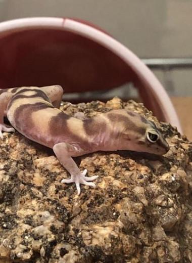 Могут ли гекконы успешно охотиться без хвоста?