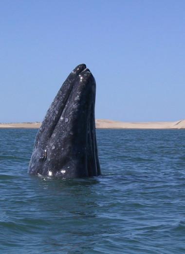 Самца серого кита заподозрили в рекордном путешествии длиной 27 тысяч километров