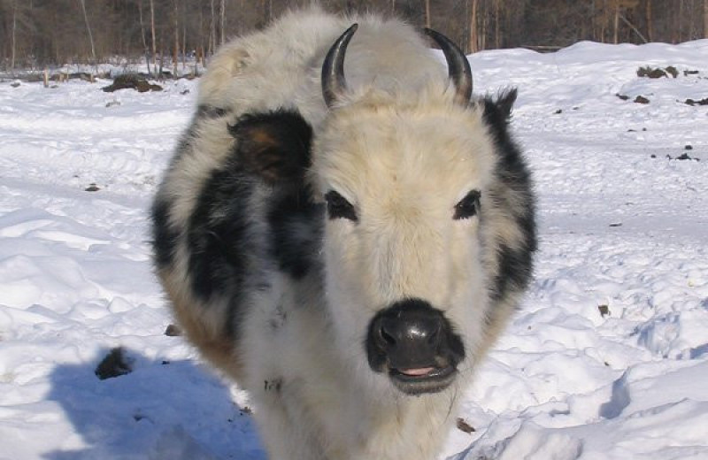 Найдены гены, позволяющие якутским коровам выживать в морозы