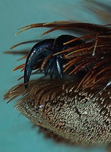 Марганец и кальций упрочнили коготки пауков