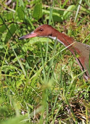 На Сейшелах найдены возродившиеся птицы
