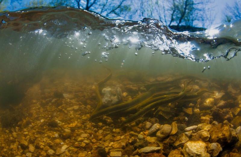 Плавает, но не рыба! Знакомьтесь: минога, удивительный обитатель российских рек