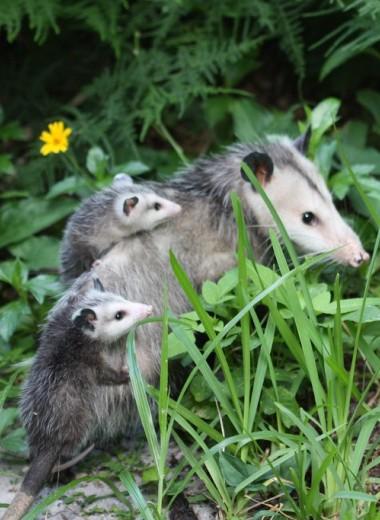 В это мало кто верил, но опоссумы умеют опылять цветы. Как?