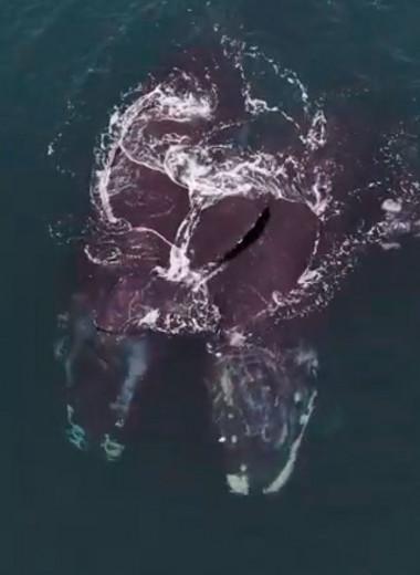 Обнимающиеся киты: редкое видео