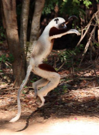 Танцующий лемур в британском зоопарке: видео