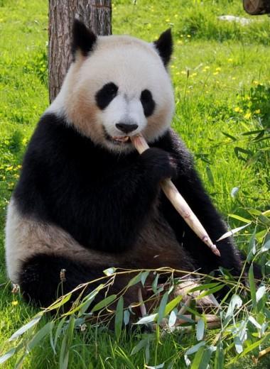 В Китае собираются клонировать панд