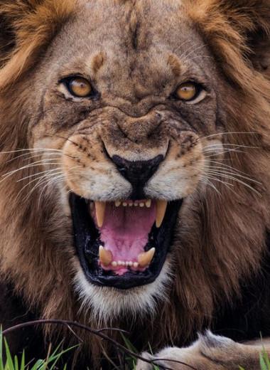 Почему нельзя поворачиваться спиной к тигру
