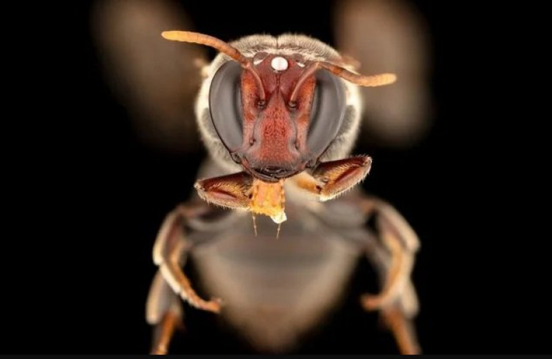 В Австралии впервые заметили «ночных пчел» в деле: они собирают нектар в темное время суток