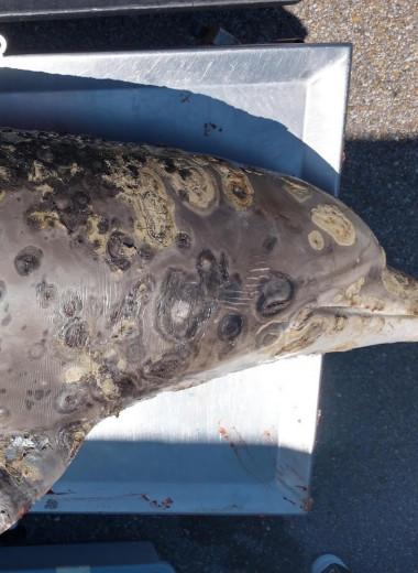 Смертельное кожное заболевание дельфинов связали с изменением климата