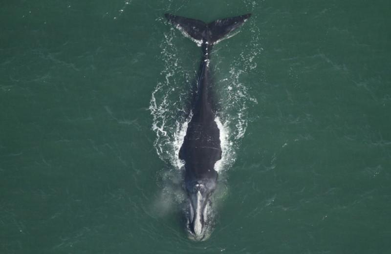 Северные гладкие киты за сорок лет стали на метр короче