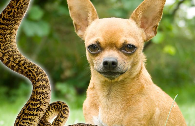 Бой чихуахуа и змеи: 8 историй о невероятных собаках, спасших детей