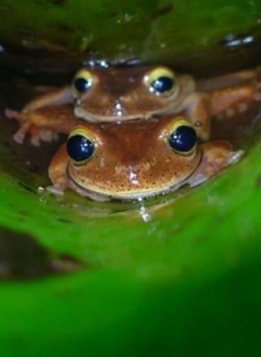 Головастики бразильских квакш покинули безопасные бассейны ради жизни в ручьях