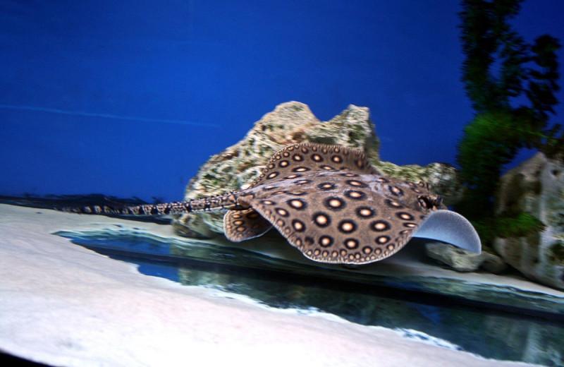 Глазчатый хвостокол: уникальная рыба, умеющая жевать